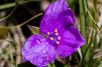 Raindrops on a flowering Spiderwort.