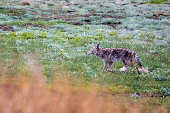 A wet coyote after the rainshower.