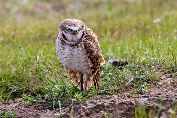 A burrowing owl looking like I feel early in the morning.
