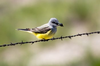 Western kingbird with a beetle it caught for lunch.