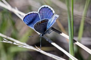 A common blue butterfly at Buffalo Gap National Grasslands.