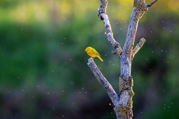 Yellow warbler surveying his lunch options at the Dells of the Big Sioux.