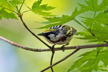 A chestnut-sided warbler at Elmwood Park in Sioux Falls.