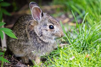 A young bunny grazing on fresh grass at Terrace Park in Sioux Falls.