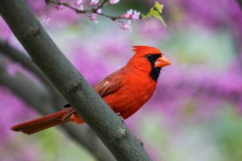 A northern cardinal amongst the blossoms of a decorative tree at Terrace Park.