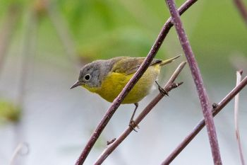 Nashville warbler at Terrace Park.