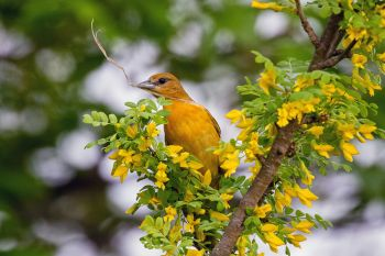 A female Baltimore oriole with nesting material at the Dells of the Big Sioux.