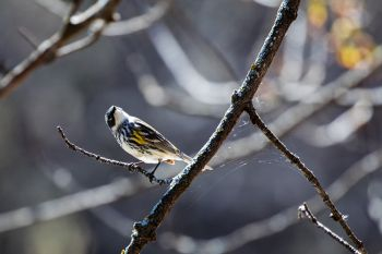 A yellow-rumped warbler at the Sioux Falls Outdoor Campus.