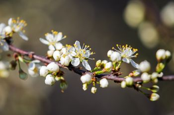 The first plum brush blossoms of spring at Newton Hills State Park near Canton.