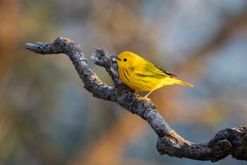 A yellow warbler at the Dells of the Big Sioux near Dell Rapids.