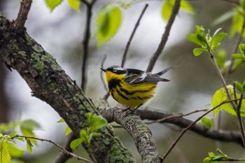 A magnolia warbler found at the Big Sioux Recreation Area near Brandon.