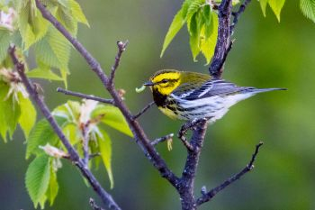 A black-throated green warbler at the Dells of the Big Sioux near Dell Rapids.