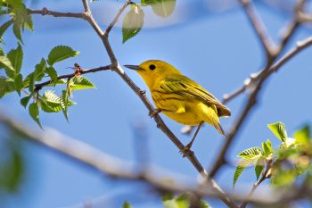 A yellow warbler checking out the photographer at Beaver Creek Nature Area near Brandon.