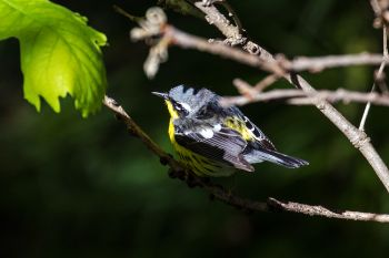 One of my favorite warblers, a magnolia warbler, in the shadows and sunlight of Palisades State Park near Garretson.
