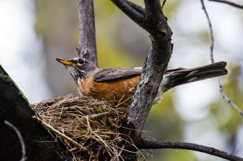 A dedicated robin finishing up her nest on the edge of Elmwood Park in northwest Sioux Falls.