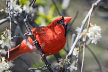 A curious northern cardinal in blooming plum brush at Elmwood Park in Sioux Falls.