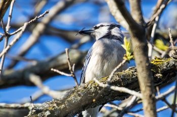 A bluejay with a bee it had just caught at Union Grove State Park.