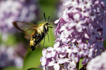 This clear winged hummingbird moth was enjoying the lilacs even more than me.