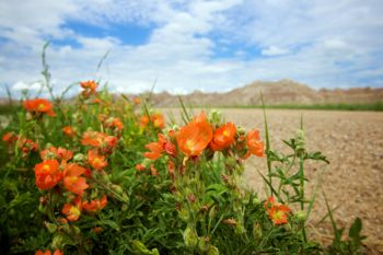 Blooming globe mallow along a Badlands National Park side road.