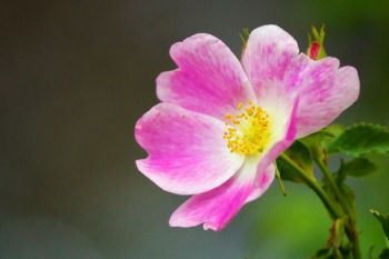 Wild prairie rose in bloom along Alkali Creek near Sturgis.