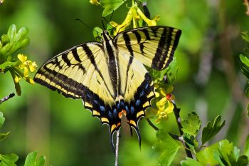Eastern swallowtail butterfly.