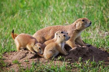 Prairie dog family on alert.