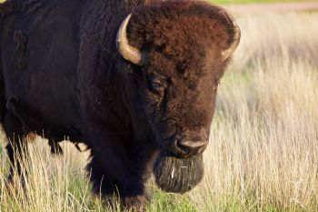 Bull bison walking along Highland Ridge Road.