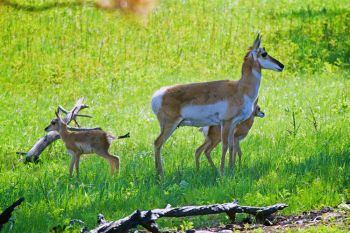 Pronghorn twins with mom.
