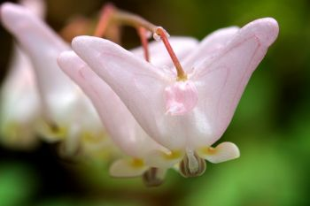 Dutchman's Breeches at Newton Hills State Park.