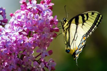 Flowers will attract insects and if you are lucky, colorful butterflies like this blooming lilac and Eastern Swallowtail found in Sherman Park in Sioux Falls.
