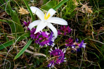 A sand or star lily in amongst the purple blossoms.