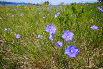 Wild Flax blooming on the flanks of Bear Butte.