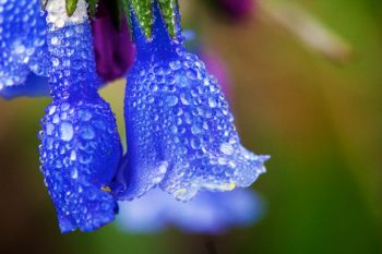 Early morning dew on blue bells found along the border of Custer State Park and Wind Cave National Park.