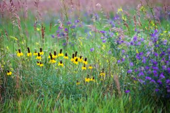 Yellow coneflower with tall grass and alfalfa in rural Jerauld County.