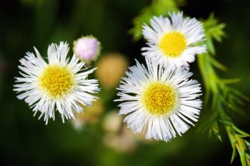 Daisy fleabane at Lake Vermillion Recreation Area.