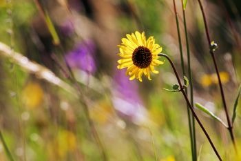 A lone sunflower among tall grass and prairie blazingstars in the hills of the Big Sioux Recreation Area near Brandon.