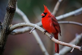 A northern cardinal perched among layered branches of Terrace Park undergrowth near Covell Lake in Sioux Falls.