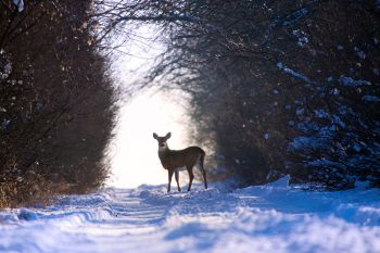 A white-tailed doe stops to look down a country road near Lake Hendricks in Brookings County.