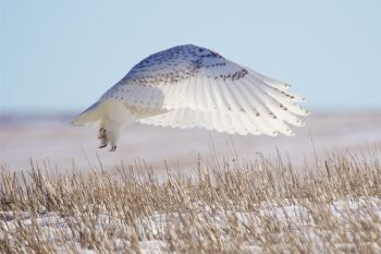 A majestic snowy owl takes flight in the Fort Pierre National Grasslands on a sunny winter day.
