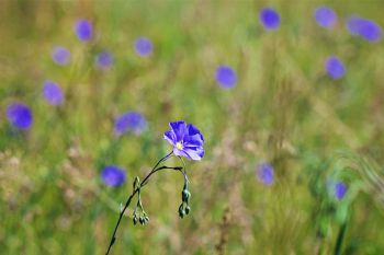 Wild flax at Custer State Park.