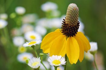 A natural bouquet of a prairie coneflower and daisy fleabane at Lake Vermillion Rec Area.