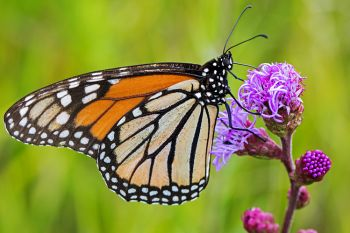 Monarch on prairie blazing star flower.