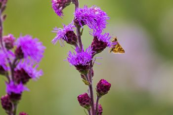 A small orange moth on the blazing star.
