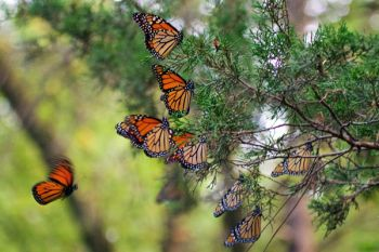 A roost of nearly a dozen monarchs at Lake Herman State Park.