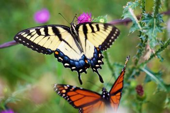 An eastern swallowtail and a monarch in eastern Brookings County.