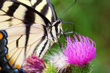 Close-up of an eastern swallowtail.