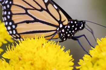Close-up of a monarch.