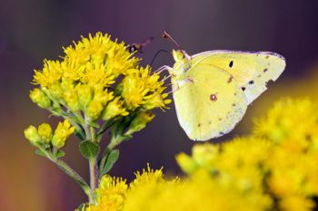 A common clouded yellow butterfly at Lake Herman State Park.
