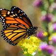 Monarch with colorful wildflowers at Lake Herman State Park.