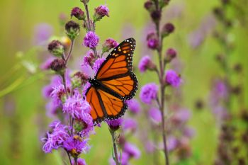 A Monarch butterfly feeding on a patch of wildflowers in the ditch south of Astoria.